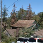 9 2000 Wood shingle roof.Dead pines - Copy (Medium)